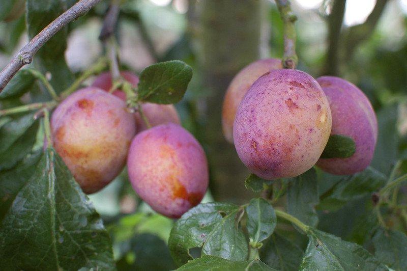 pyo fruit essex